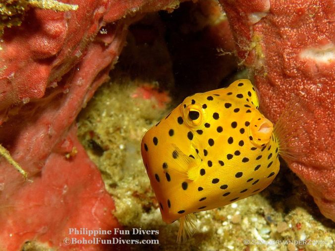 Philippine fun divers box fish 1